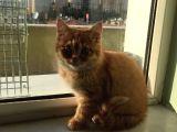 2.5 aylık sarı british shorthair