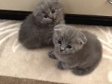 Scottish fold 1 aylık ve 5 aylık 2 kedimiz vardır ☺️