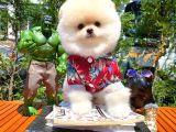 Irk ve Sağlık garantili Pomeranian Boo yavrumuz