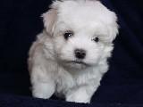 0 Numara Maltis Terrier Yavruları Joker Petshop ta