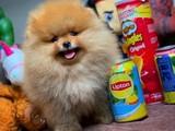 Gülen Surat Pomeranian Boo Oğlumuz Max