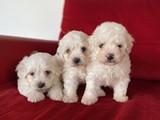Orjinal Maltese Terrier Yavrularımız