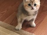 Golden erkek yavru kedim yeni yuvasını arıyor