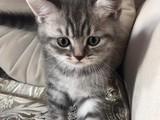 Saf british cinsi dişi kedi