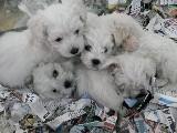 0 numara maltese terrier yavrularımız