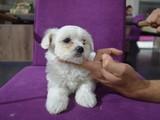 Minik ve hep minik kalacak Maltese Terrier yavrular