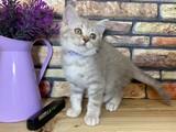 Light Lilac Tabby British Shorthair Kızımız Robin