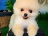 Güler yüzlü güzeller güzeli Pomeranian Boo kızımız