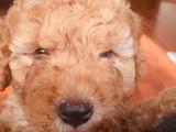 2 aylık yavru toy poodle