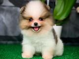 En tatlı en güzel benim dedirten Pomeranian Boo yavrumuz