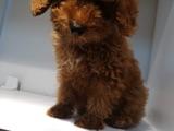 Safkan Toy Red Poodle Yavrular