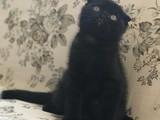 Siyah Scottish Fold safkan yavru