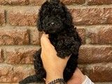 Siyah black dişi 3 toy poodle yavrumuz