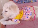 Maltese 0 Beden 3 Aylık Yavru