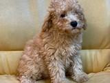 3.5 aylık erkek toy poodle yavrumuz