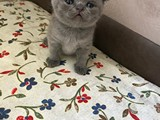 Scottish Fold Yavru