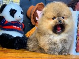 Yeni gelen AA kalite yarışma düzeyi Pomeranian Oğlumuz 'TED'