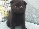 Scottish Fold - Siyah Erkek