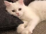 Beyaz British Shorthair Erkek 2.5 Aylık Çok Oyuncu