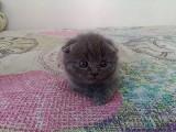 ankara schottis biritish kedi