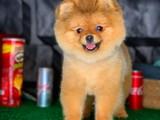 Scr Sertifikalı Üst Düzey Yetişkin Pomeranian Boo
