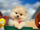 En iyi kalite Pomeranian Boo surat