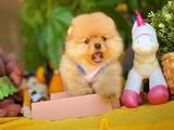 AA Kalite Safkan Irk Onaylı Pomeranian Boo Yavru