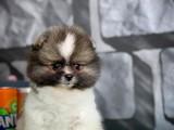 Yarışma Düzeyi PartyColor Ender Pomeranian Boo Yavru