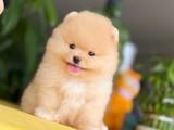 GoldRenk T-Cup Boy Safkan Irk Pomeranian Boo Yavru