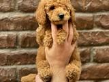 Red minyatür toy poodle yavrularımız