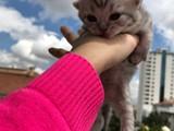 British anne, schottis babadan yavru kediler