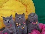 British Shorthair ve Scottish Fold yavrularımız ev ortamında sizleri bekliyor