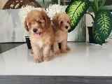 Toy Poodle Yavruları