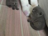 1 aylık safkan british shortair kedi