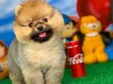 Evinize Neşe Kaynağı Bir Avuç Mutluluk Pomeranian Boo