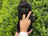 Black siyah erkek toy poodle yavrumuz