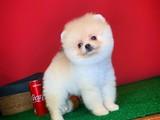 Çapkın yakışıklılıkta Pomeranian Boo yavrumuz