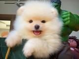 SCR Sertifikalı Üst Düzey Pomeranian Boo Yavruları