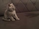 Scotish fold Brtish shorthair kendi kedimin yavruları