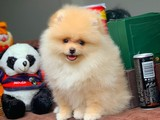 Ayıcık surat Pomeranian boo Şirin yavrularımız