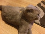 5.5 aylık scottishfold lillac erkek