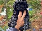 Siyah inci black toy poodle yavrumuz