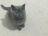 2 Aylık British Shorthair Yavrumuz