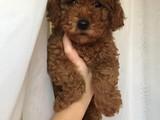 Minyatür red brown poodle erkek yavrumuz