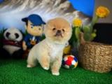 Yakışıklı Pomeranian Boo Oğlumuz MARİO