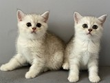 Silver shaded british shorthair bebeklerimiz
