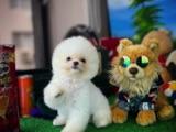 Mini Boy Ayı Surat Pomeranian Boo Kızımız ANGEl