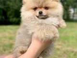Gülen yüz mini Pomeranian
