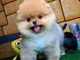 Üst Düzey Ayıcık Surat Pomeranian Boo Yavrumuz