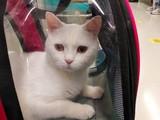British Shorthair Beyaz Erkek Kedi